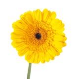 Yellow gerbera flower Royalty Free Stock Images