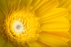 Yellow gerbera flower  on white background. Macro photography Stock Images