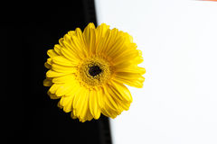 Yellow gerbera flower on a white and black background Stock Photos