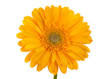 Yellow gerbera flower on white Stock Photography