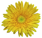 Yellow  gerbera flower, white isolated background with clipping path.   Closeup.  no shadows.  For design. Stock Image
