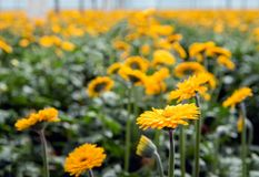 Yellow Gerbera flowers in a cut flower nursery. Yellow blooming Gerbera plants with hairy stems cultivated in a specialized cut flower nursery in the Netherlands Stock Photo