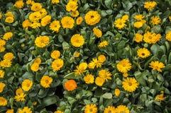 Yellow gerbera flowers Stock Photos
