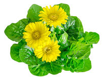 Yellow gerbera flowers, green leaves, close up, isolated on whit Royalty Free Stock Images