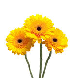 Yellow gerbera flowers isolated on white background close-up Royalty Free Stock Image