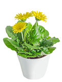 Yellow gerbera flowers in a vase, flowerpot, green leaves, close Stock Image