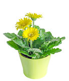 Yellow gerbera flowers in a vase, flowerpot, green leaves, close Stock Photography