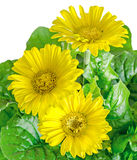 Yellow gerbera flowers in a vase, flowerpot, green leaves, close Royalty Free Stock Images