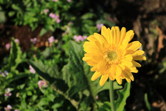 Yellow Gerbera. In the garden Stock Photography