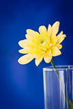 Yellow gerbera in the glass. Sunny yellow Gerbera in the glass against the blue background Stock Photo