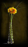 Yellow gerbera in a glass vase Royalty Free Stock Photo