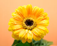 Yellow Gerbera with green leaves on the orange background. Close up, selective focus royalty free stock images