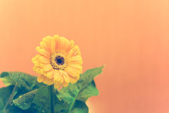 Yellow Gerbera with green leaves on the orange background. Close up, toned, selective focus royalty free stock images