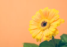 Yellow Gerbera with green leaves on the orange background. Close up, toned, selective focus royalty free stock photography