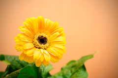 Yellow Gerbera with green leaves on the orange background. Close up, toned, selective focus royalty free stock photo
