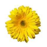 Yellow Gerbera  included clipping path Royalty Free Stock Image