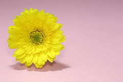 A yellow gerbera Royalty Free Stock Photos