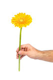 Yellow gerbera in male hand Royalty Free Stock Photography