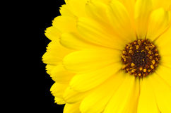 Yellow gerbera marigold flower  on black Stock Photography