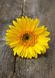 Yellow gerbera Royalty Free Stock Photos