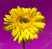 Yellow gerbera on purple background Royalty Free Stock Photos