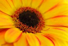 Yellow gerbera, shallow DOF. Close-up view Royalty Free Stock Image