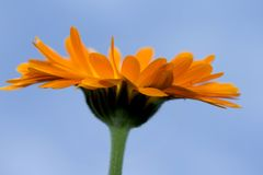 A yellow Gerbera sunflower against blue sky Stock Photos
