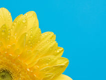 Yellow gerbera with water drops Royalty Free Stock Image