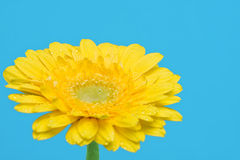 Yellow gerbera with water drops Stock Image