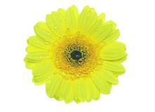 Yellow gerbera Stock Images