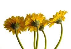 Yellow Gerberas Stock Images