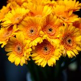 Yellow gerberas background. Bouquet of yellow gerberas flowers in the vase over dark background. Orange gerberas bunch background, shallow DOF, square royalty free stock images