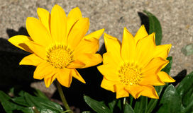 Yellow gerberas. Blooming small yellow gerberas in my garden Royalty Free Stock Photos