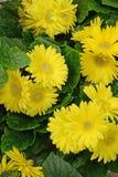 Yellow Gerberas. Yellow gerbera daisy blossoms on green laeves Stock Image