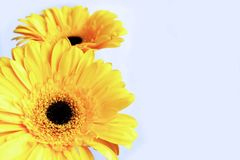 Yellow Gerber flowers on white background stock photography