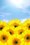 Yellow gerbers. Yellow gerber flowers against blue sky royalty free stock photography