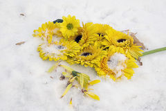 Yellow gerbers. Nice yellow gerbers on the snow in the sunshine Royalty Free Stock Images