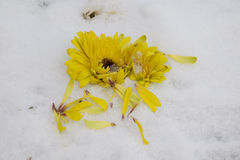Yellow gerbers. Nice yellow gerbers on the snow in the sunshine Stock Image