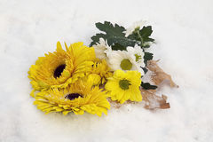 Yellow gerbers. Nice yellow gerbers on the snow in the sunshine Stock Photos