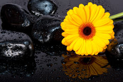 Yellow gerbia with wet rocks. Wet, yellow gerbia with wet rocks on a black surface Stock Photography
