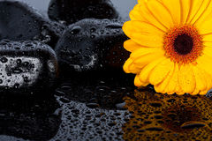Yellow gergia on wet surface Stock Image
