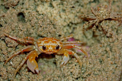 Yellow ghost crab Royalty Free Stock Image