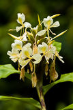 Yellow ginger flowers. Flowering wild yellow ginger Hedychium flavescens Stock Image