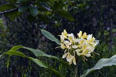 Yellow ginger lily on the dark of the forest Stock Photo