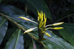 Yellow ginger lily on the dark of the forest Royalty Free Stock Image