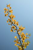 Yellow gingko Royalty Free Stock Photos
