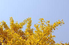 Yellow gingko Royalty Free Stock Photo