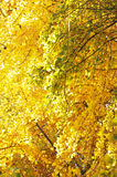 Yellow gingko branches Royalty Free Stock Photography