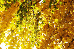 Yellow gingko leaves Stock Photo