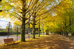 Yellow Ginkgo in Autumn Royalty Free Stock Images